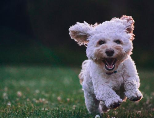Tibiboo, un Tinder colaborativo para ayudar a dueños de perros