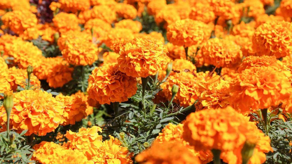 Flor de cempoalxochitl