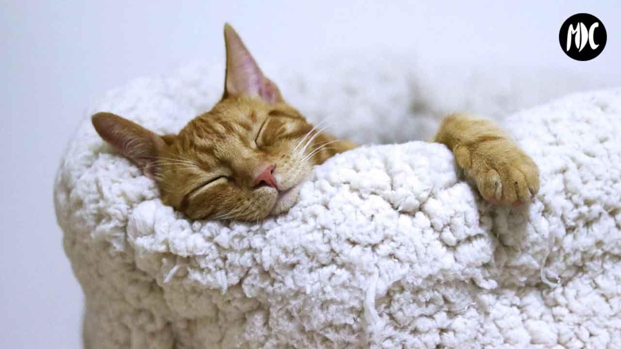 gato domido